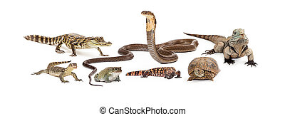 Group of reptiles including an asian water monitor, baby crocodile, desert toad, cobra, gila monster, box turtle and Grand Cayman Blue Iguana. Image sized to fit a popular social media header placeholder