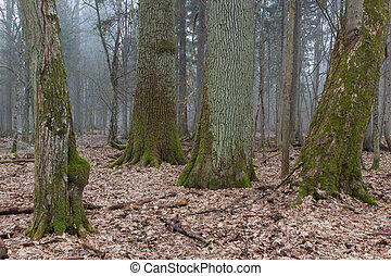 Group of very old decidous trees side by side in springtime...