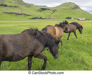 Group of walking brown Icelandic horses grazing on a green grass meadow with flowers, red farm house buildings, hills cloudy sky background, in Iceland summer