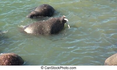 Group of walruses rest in water of Arctic Ocean on New Earth in Russia.