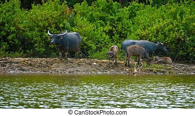 Group of Water Buffalo on a River Bank