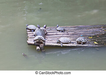 group of water turtle resting on a raft