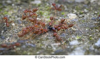 Group of weaver ants in extreme closeup, holding down and milking another ant for its honeydew, an important food source for them.