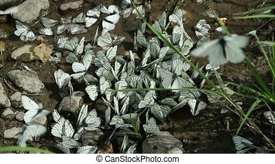 group of white butterflies fly around a dried puddle, some one of them sitting on a ground
