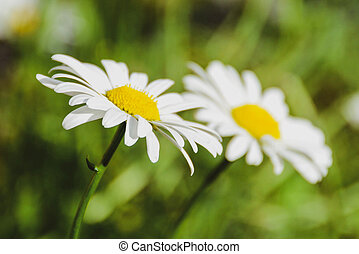 Group of white daisies in full bloom in the garden