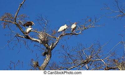 Group of White Ibis perched in tree