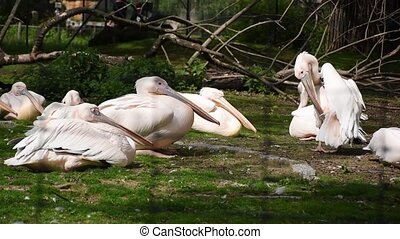Family of great white pelicans chilling in sunshine on green lawn