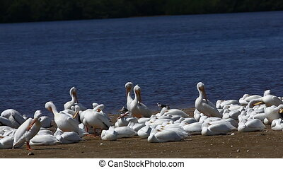 Group of White Pelicans - Group of White Pelican, Pelecanus...