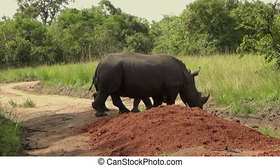 Group of White Rhinos in a Reserve, Uganda, Africa.