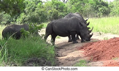 Group of White Rhinos in a Reserve, Uganda.