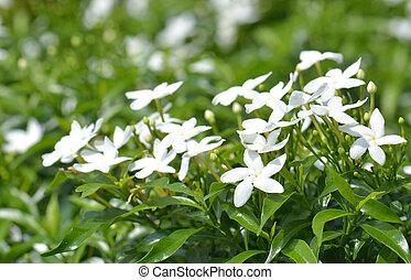 Group of white Sampaguita Jasmine or Arabian Jasmine (Jasminum sambac (L.) Aiton; Oleaceae)