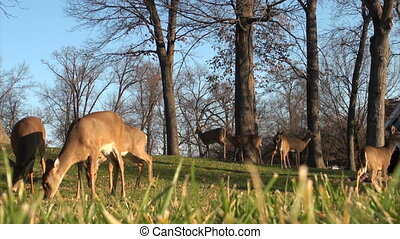 Group of whitetail deer does in a f