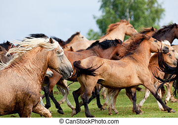 Group of wild horse running fast - Group of Belarussian wild...