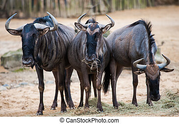 Group of wildebeests: animals from Africa