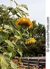Group of Wilted Sunflowers
