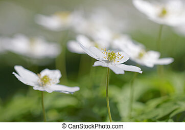 Group of wood anemone