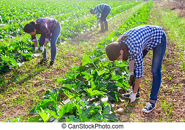 Group of workers pulling weeds on field