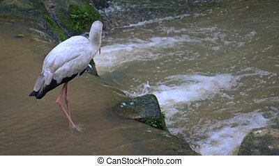 Group of Yellow Billed Storks in a Stream. hidef 1080p video...