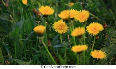 Group of yellow dandelions. Nature scene.