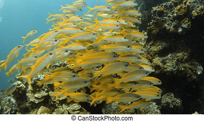 Group of yellow fish