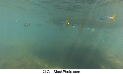 Group of yellow fish and scuba diver. - A group of yellowfin...