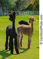 Group of young alpaca - Flock of young alpaca raised ...