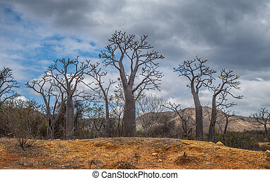 Group of young baobabs in a cloudy day