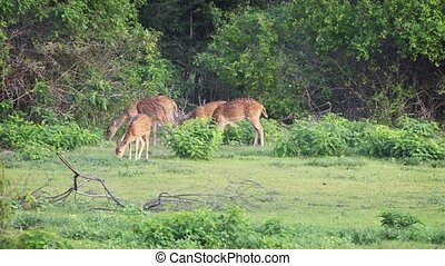 Group of Young Deer at a Sri Lankan National Park - Six...