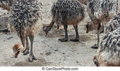 Group of young ostriches at the breeding farm. Wild animals outdoors. Ostrich farming concept.