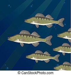 Group of Zander Perch fish swimming