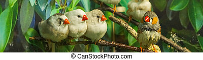Group of Zebra finches perched on a branch, green leaves background