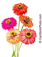 group of zinnia flowers