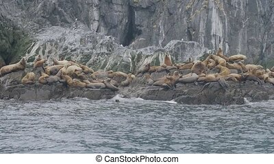 Group sea lions inhabiting on stony island in pacific ocean....