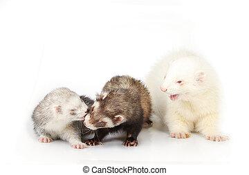 groupe, albinos, furet, fond, réflecteur, blanc mâle