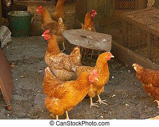 groupe, de, brun, poules, photofraphed, marchant, sur, yard,...