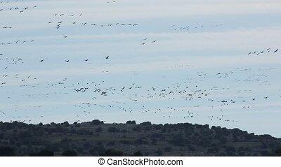 groupe, grues, espagne, fin, gallocanta, champs, oiseaux volant