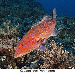 grouper corallino, su, uno, scogliera