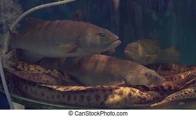 Grouper fish and sea eels in restaurant aquarium tank for...