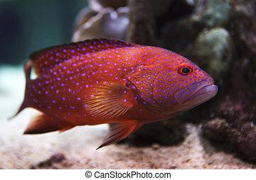 grouper rojo