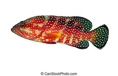 grouper trasero coral