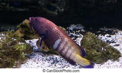 Groupers or gropers. Beautifully decorated Marine Aquarium.