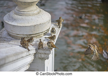 Groups of sparrows resting on a ledge next to a lake in Retiro Park, Madrid, Spain