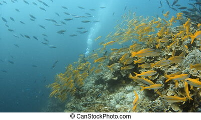 Groups of yellow fish and a scuba diver