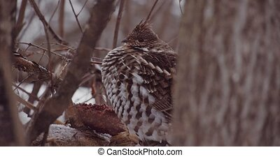 Grouse bird in a winter forest - Northern winter partridge ...