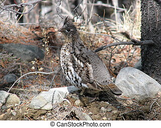 grouse - perfect camouflage