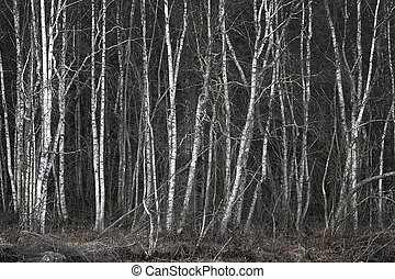 grove with thick vegetation of bare birch trees