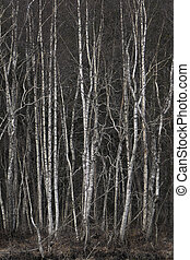 grove of bare birch trees - grove with thick vegetation of...