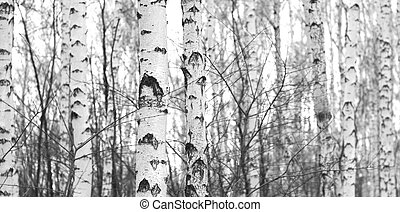 Grove of birch trees in early autumn