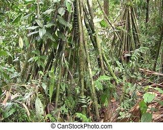Grove of stilt rooted palms - Stilt roots of palm (Iriartea...
