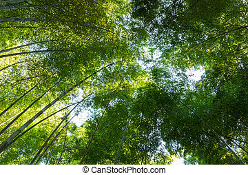 groves of bamboo